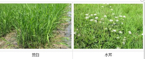 人工湿地植物选择
